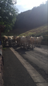Cows Walking the Camino