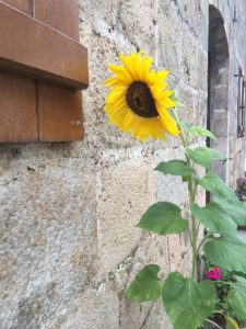 Camino Sunflower